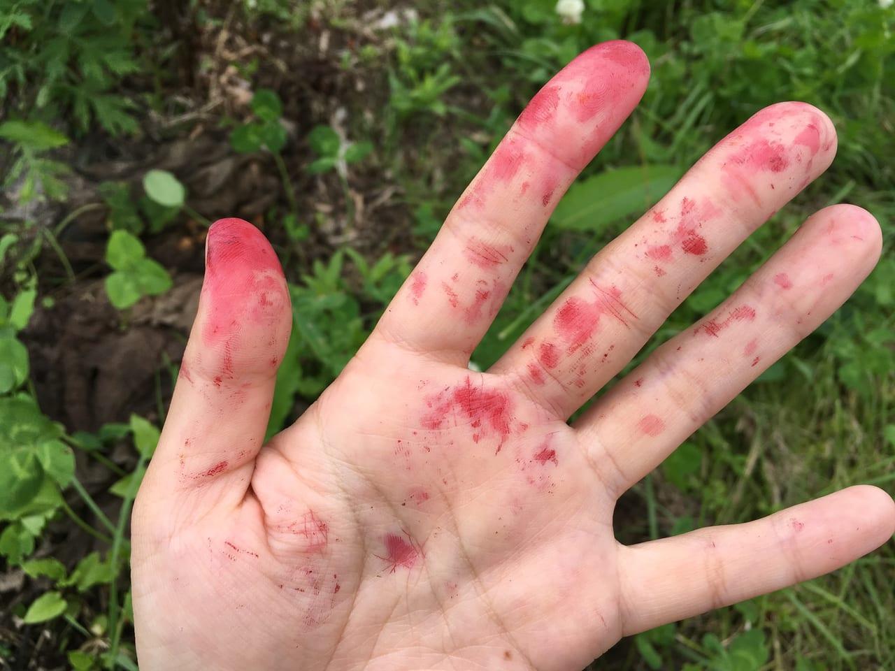 ハスカップをもぎとった後の手